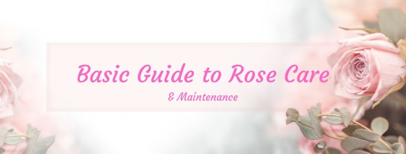rose care and maintenance image